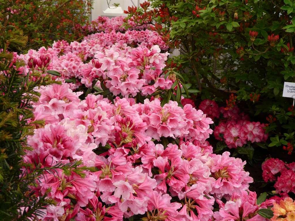 album 4 nieuwe rhododendron hybriden rh dear barbara a. Black Bedroom Furniture Sets. Home Design Ideas