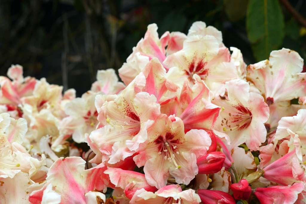 album 4 nieuwe rhododendron hybriden rh gerstenkorn. Black Bedroom Furniture Sets. Home Design Ideas