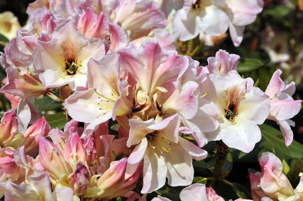 album 4 nieuwe rhododendron hybriden rh lily dance f. Black Bedroom Furniture Sets. Home Design Ideas