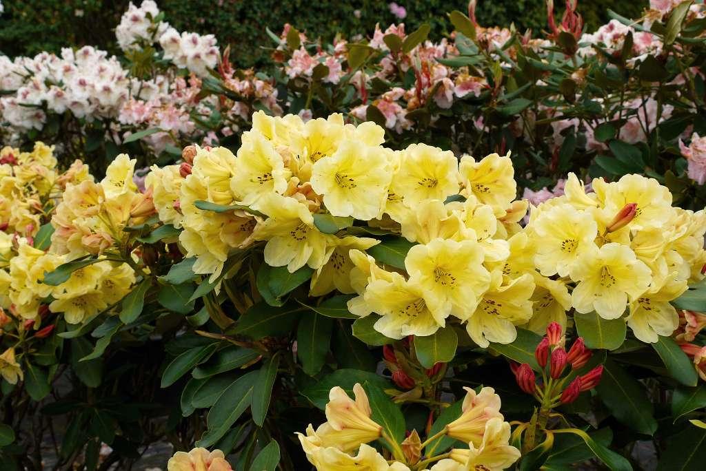 album 4 nieuwe rhododendron hybriden rh limonanda a. Black Bedroom Furniture Sets. Home Design Ideas
