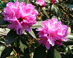 'Black Satin' a lepidote rhodo with dark leaves in winter