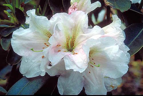 rhododendron mit wei en bl ten. Black Bedroom Furniture Sets. Home Design Ideas
