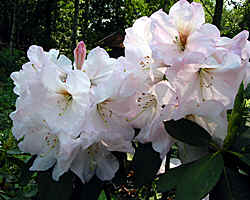 'Bonito' a large leaved late flowering rhododendron