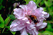 'Elsie Lee' an Amesrican evergreen azalea with lilac double flowers and very hardy!