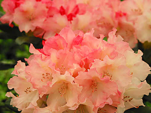 Assortment of orange flowering rhododendrons malaga yak salmon yellow orange red m c malwine large salmon pink yellow flowers m c hh mary fleming lepidote salmon lilac pink e mightylinksfo