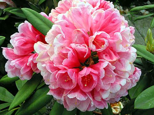 Surrey Heath Apart Pink And Fine Plant M C Trude Webster Large Light Flowers H