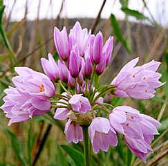 Plantas para zona continental (Guadalajara) Allium_roseum