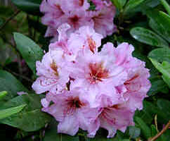and what is the name of this fine rhodo?  Bob, please tell us....
