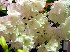 evergreen azalea 'Sherwood White'