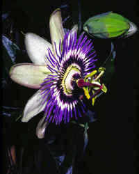 passion-flower