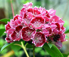 in the Wooten garden 'Kaleidoscope' - I like Kalmia latifolia!