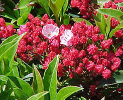 Kalmia latifolia 'Ostbo Red' rred buds and almost white flowers, a nice contrast