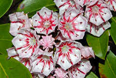 Kalmia latifolia with new type of flowerpatern!! Found on Wayah Bald