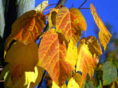 especially maples give the garden in fall an abundance of colours