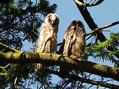 in 2001 we had some young owls in trees around our house