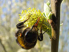 in spring thick bumble bees on willowcats