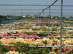 visiting the nursery of Mr. Siem Cok in Hazerswoude