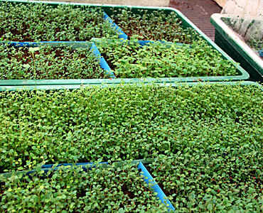 and here seedlings of 2 to 3 months old, ready for planting out