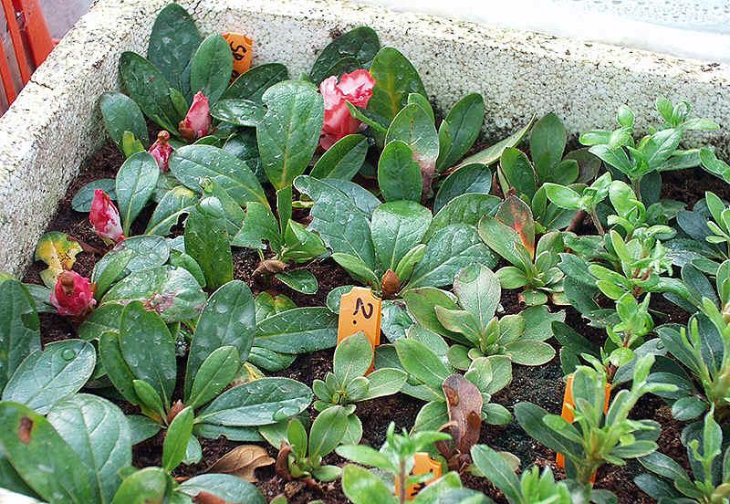 Gut bekannt Vermehrung und Veredlung von Rhododendron und Azaleen MM08