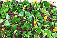 Bevorzugt Vermehrung und Veredlung von Rhododendron und Azaleen TH61