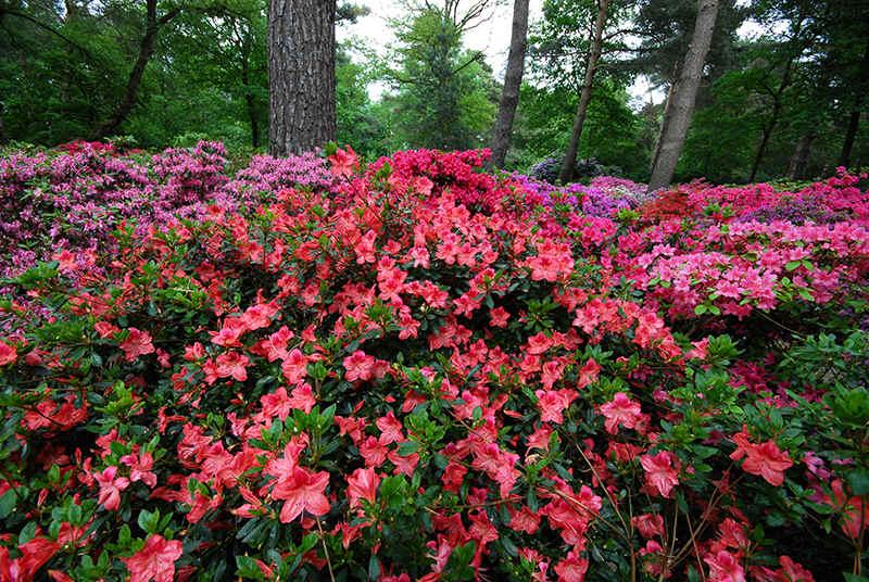 Super Pflanzung von Rhododendron und Azaleen &DF_92
