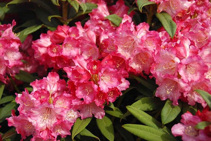 http://www.rhodoland.nl/fotos2/rhododendron_anneliese.jpg