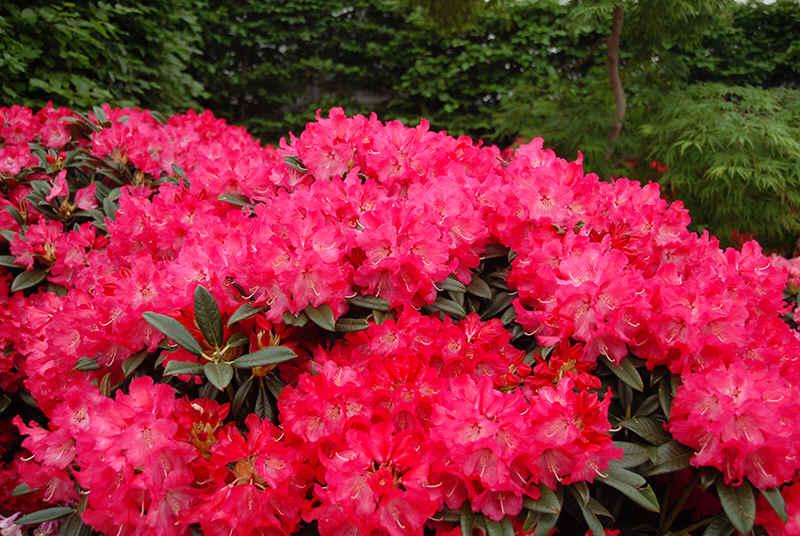 rhododendron mit roten bl ten. Black Bedroom Furniture Sets. Home Design Ideas