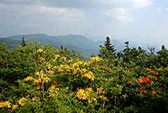 Rhododendron calendulaceum in den Yellow Mountains, USA.
