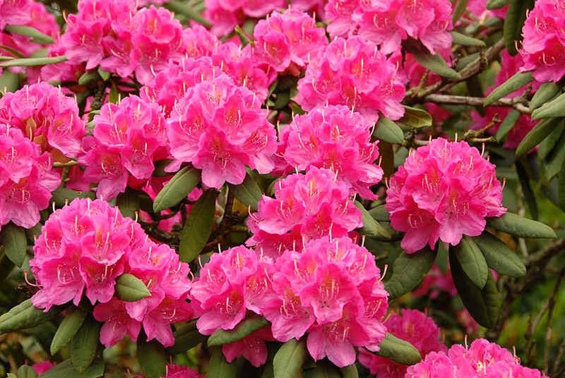 http://www.rhodoland.nl/fotos2/rhododendron_catharina_van_tol.jpg