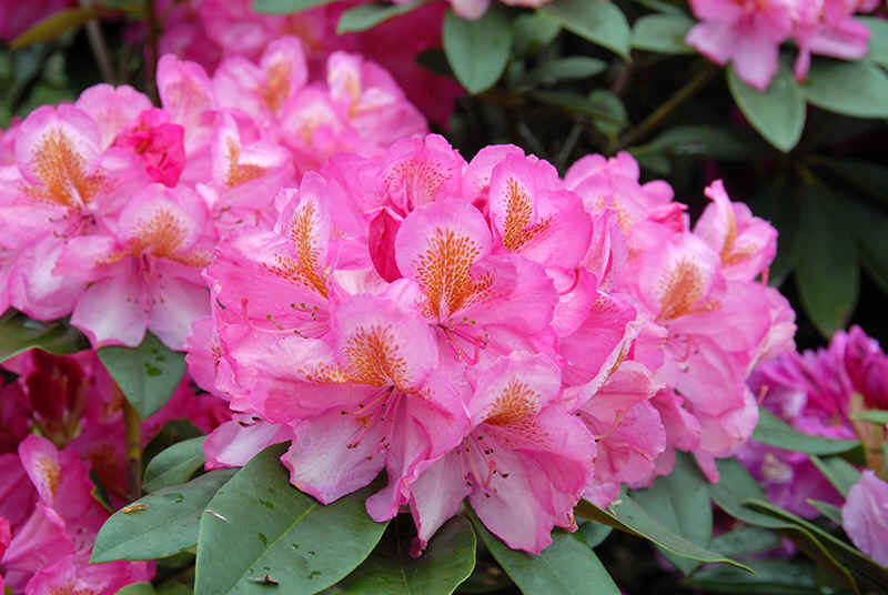http://www.rhodoland.nl/fotos2/rhododendron_clementine_lemaire.jpg