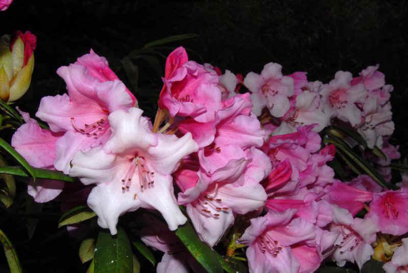 rhododendron blutezeit dear barbara ist eine kreuzung von rh vulcans flame deutschland