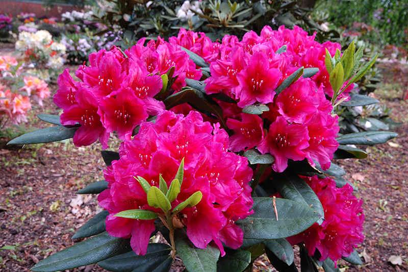 rhododendrons met rode bloemen. Black Bedroom Furniture Sets. Home Design Ideas