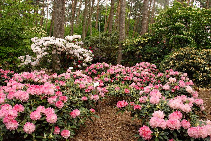 http://www.rhodoland.nl/fotos2/rhododendron_excelsior.jpg