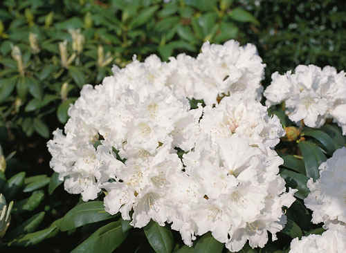 Assortment of white flowering rhododendrons graffito fine rosy white with red blotch hardy e m hh gudrun pink buds white flowers red markings m c hh mightylinksfo