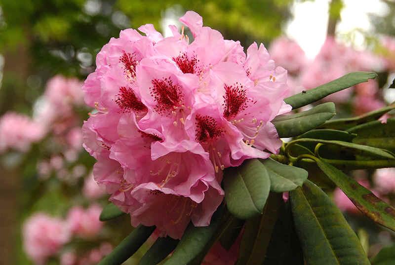 http://www.rhodoland.nl/fotos2/rhododendron_graefin_sonja.jpg