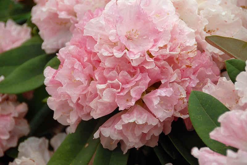 http://www.rhodoland.nl/fotos2/rhododendron_graf_anton_guenther.jpg