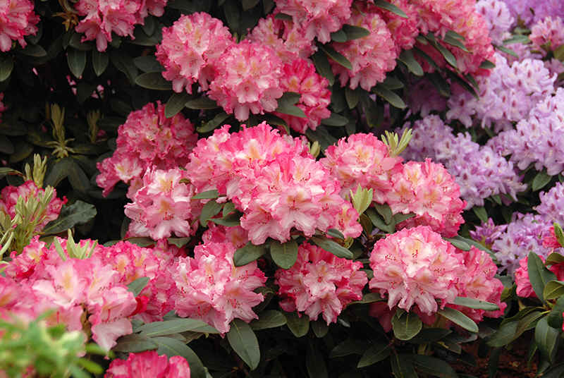 http://www.rhodoland.nl/fotos2/rhododendron_guyens_kleopatra.jpg