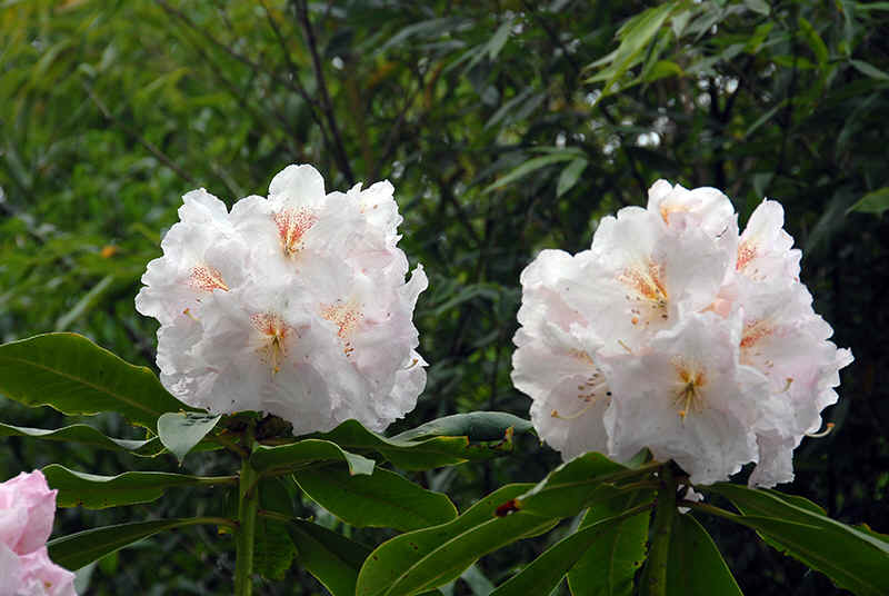 Assortment of white flowering rhododendrons herbstgru flowers for 70 in fall whitered blotch hh hyperion usa looks like sappho but better m hh inamorata cream white with small mightylinksfo