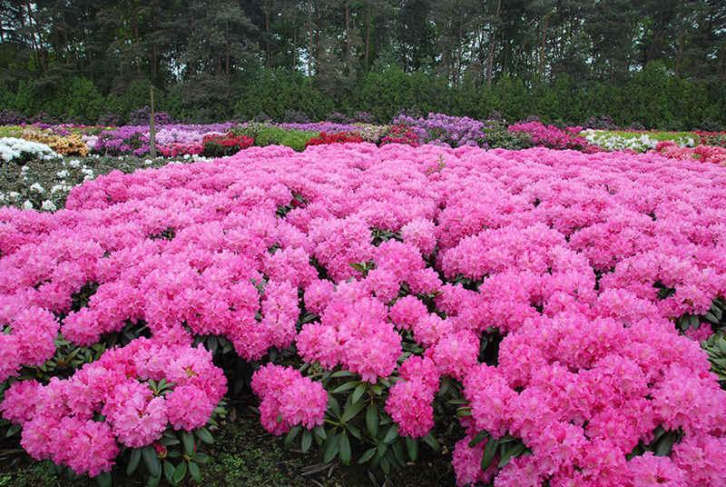 http://www.rhodoland.nl/fotos2/rhododendron_helgoland.jpg