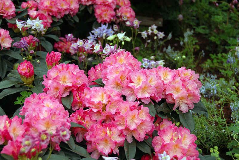 http://www.rhodoland.nl/fotos2/rhododendron_henri_nannen.jpg
