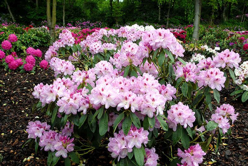 http://www.rhodoland.nl/fotos2/rhododendron_hutberg.jpg