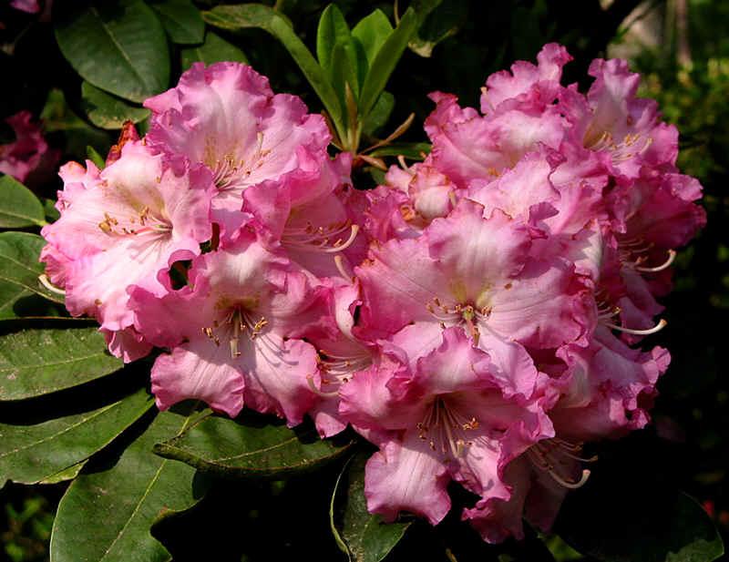 http://www.rhodoland.nl/fotos2/rhododendron_josephine_everett.jpg