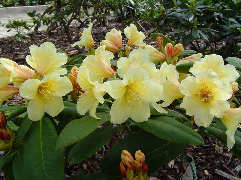 Assortment Of Yellow Flowering Rhododendrons