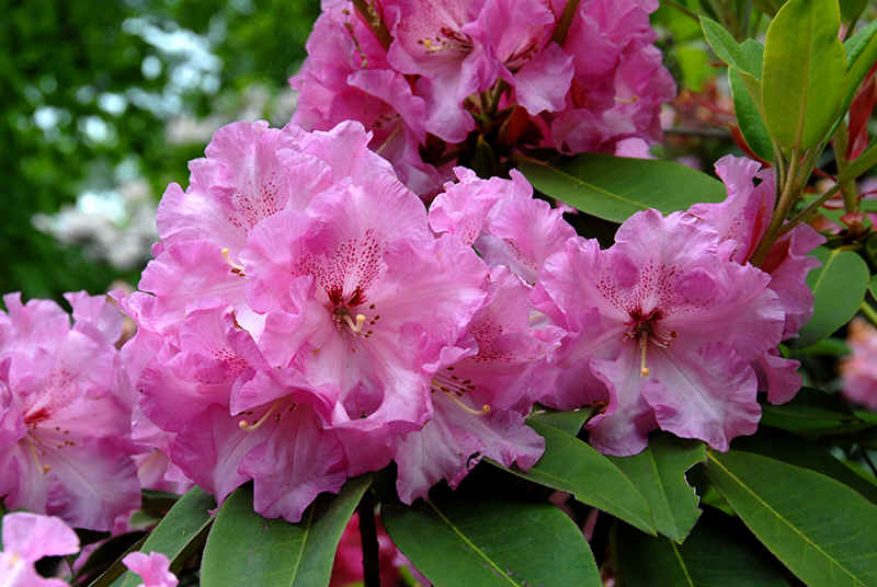 http://www.rhodoland.nl/fotos2/rhododendron_kelley.jpg