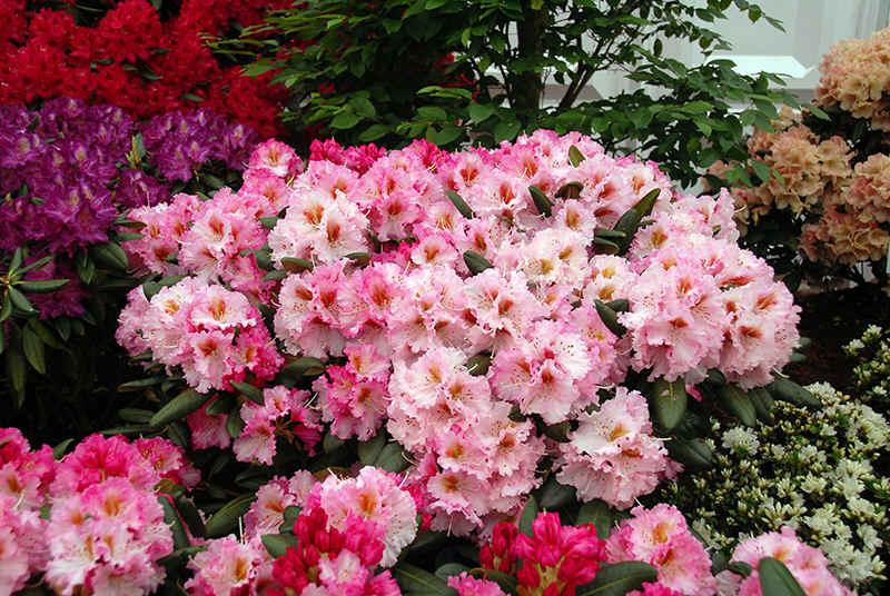 http://www.rhodoland.nl/fotos2/rhododendron_kronjuwel.jpg