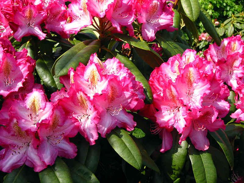 http://www.rhodoland.nl/fotos2/rhododendron_lausitz.jpg