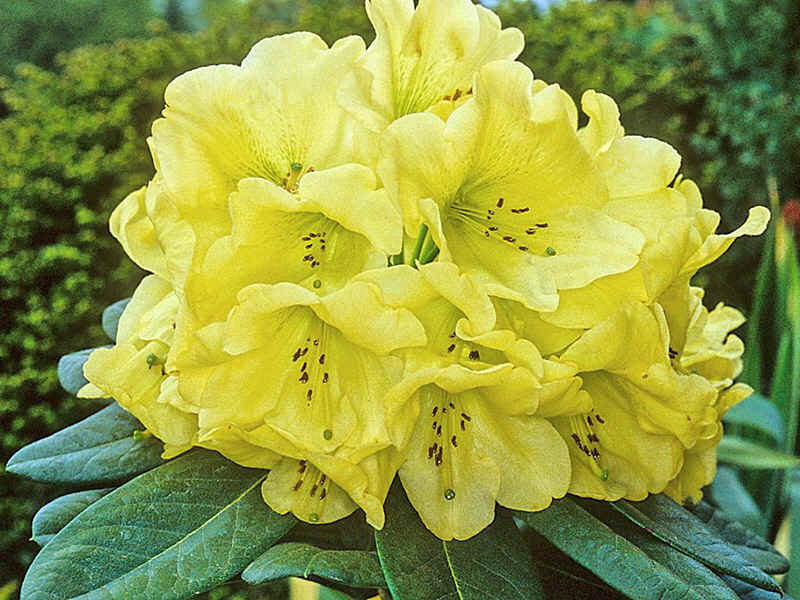 assortment of yellow flowering rhododendrons. Black Bedroom Furniture Sets. Home Design Ideas