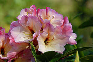 Z. 00-13 is a cross with (Rh. yakushimanum FCC  x  Rh. 'Goldkrone' )  x  Rh. 'Whitney's Tigerlily' .  Same rhodo as right up this page on top.