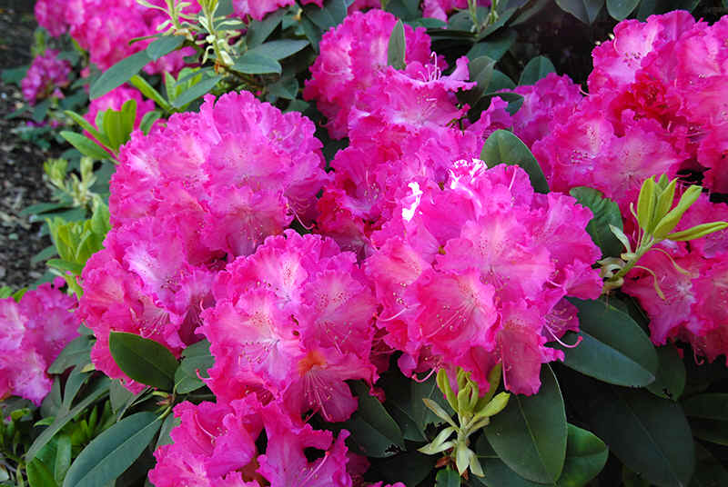 http://www.rhodoland.nl/fotos2/rhododendron_marlene_vuyk.jpg