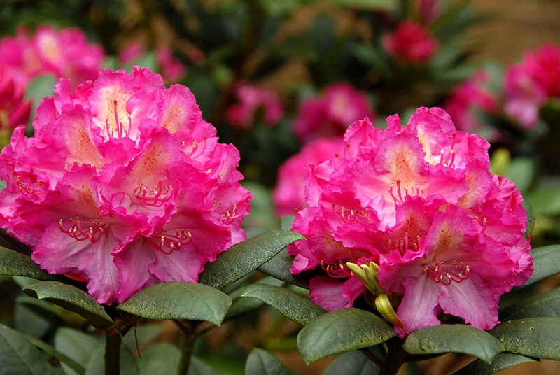 http://www.rhodoland.nl/fotos2/rhododendron_mazurka.jpg